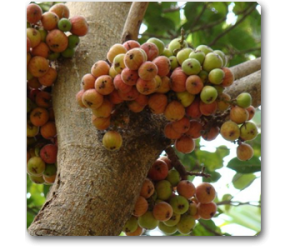 Anjeer (common fig)