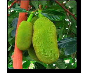 Jack Fruit, Artocarpus Heterophyllus ( Grown through seeds )
