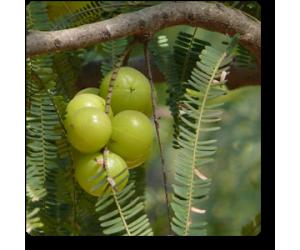 Amla ( Big Fruit, Grown through seeds )