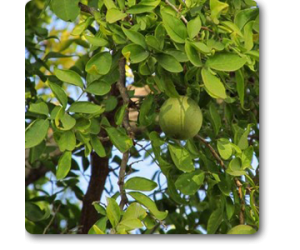 Bel Tree, Bilva Patra
