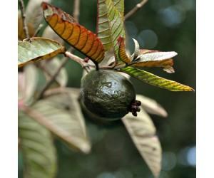 Black Guava
