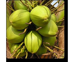 coconut (Green)