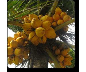 coconut (Golden)
