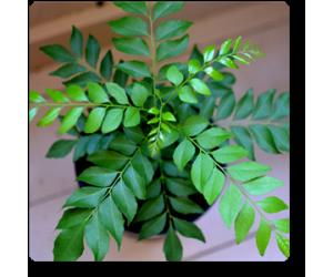 Curry Leaves, Kadi Patta