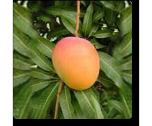 Mango Kesari, Aam Kesari (Grafted)