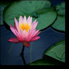 Pink Lily, Hybrid Lotus (Pink, light Lavender)