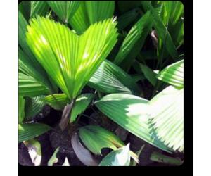 Pichodia Grandish Palm