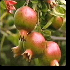 Pomegranate, Annar, Anar (Grafted)