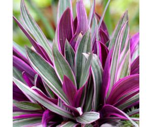 Rhoeo Spathacea Tricolor, Rhoeo Variegated