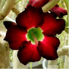 Adenium (Maroon, Dark Red)
