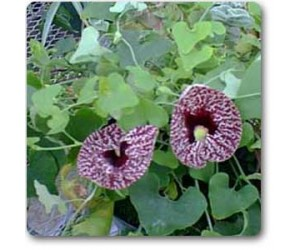 Aristolochia reticulata