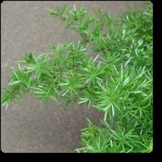 Asparagus Densiflorus, Asparagus Sprengeri