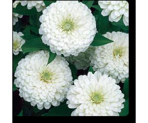 Big Zinnia (White)