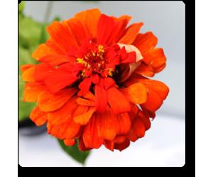 Big Zinnia (Orange)