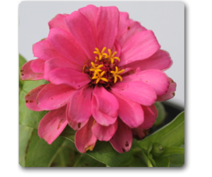 Big Zinnia (Pink)