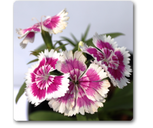 Dianthus (White Pink)