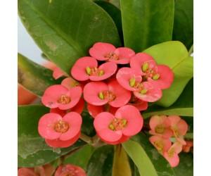 Euphorbia Milli (Red)