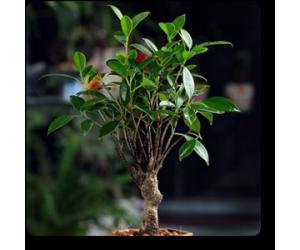 Ficus I Shape