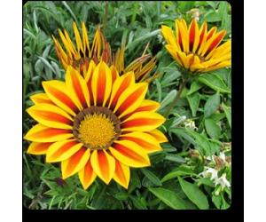 Gazania (Yellow-Orange)
