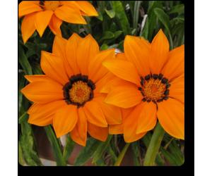 Gazania (Orange)