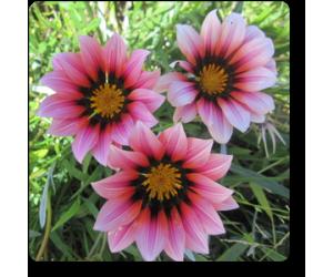 Gazania (Pink-White)