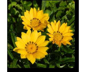 Gazania (Yellow)