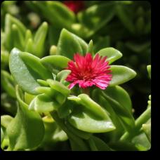 Aptenia, Heartleaf Ice Plant