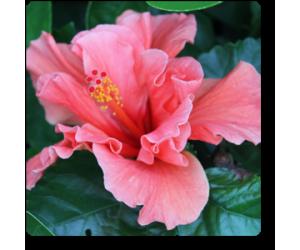 Hibiscus ((Peach Double) )