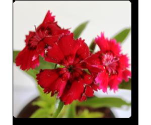Dianthus (Red)