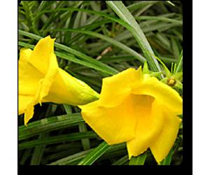Kaner, Bittu, Nerium oleander (Yellow)