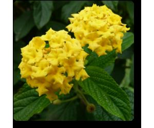 Lantana (Yellow)