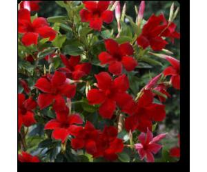 Mandevilla (Red)