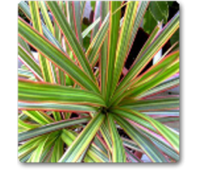 Marginata (Dracaena marginata)