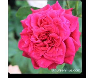 Rose (Marigold Red)