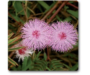 Mimosa Pudica, Touch me not, Chui mui
