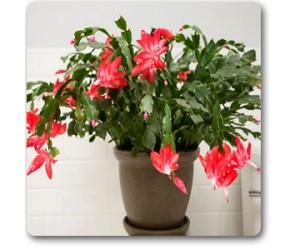 Chrismas Cactus, Schlumbergeras