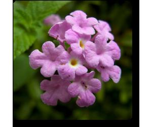 Lantana (Lavender)