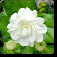 Jasminum sambac, Mogra, Arabian Jasmine