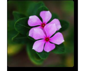 Vinca (Light Pink)