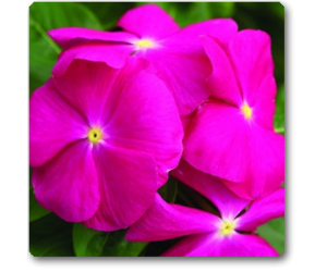 Vinca (Pink)