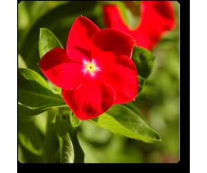 Vinca (Red)
