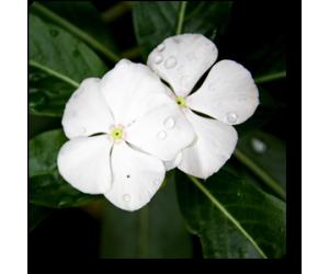 Vinca (White)