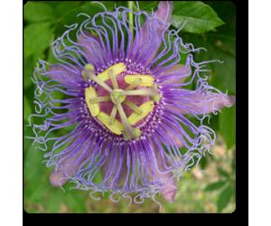 Passiflora Incarnata (Purple), Krishana Kamal