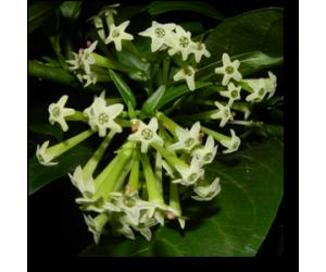 Raat Ki Rani, Raat Rani, Night Blooming Jasmine