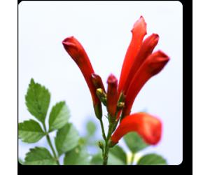 Tecoma (Shurb, Red)