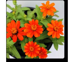 Zinnia (Orange)