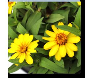Zinnia (Yellow)