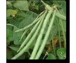 Lobia Selection OS 42, Black Eyed beans - Seeds