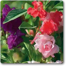 Balsam Tom Thumb Mixed - Seeds
