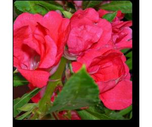Balsamine Rose Flower - Seeds